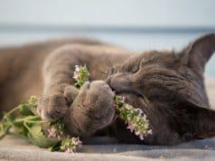 Katzenminze