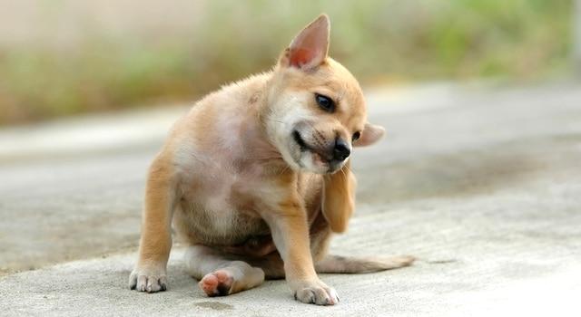 Ohrmilben Hund Anzeichen